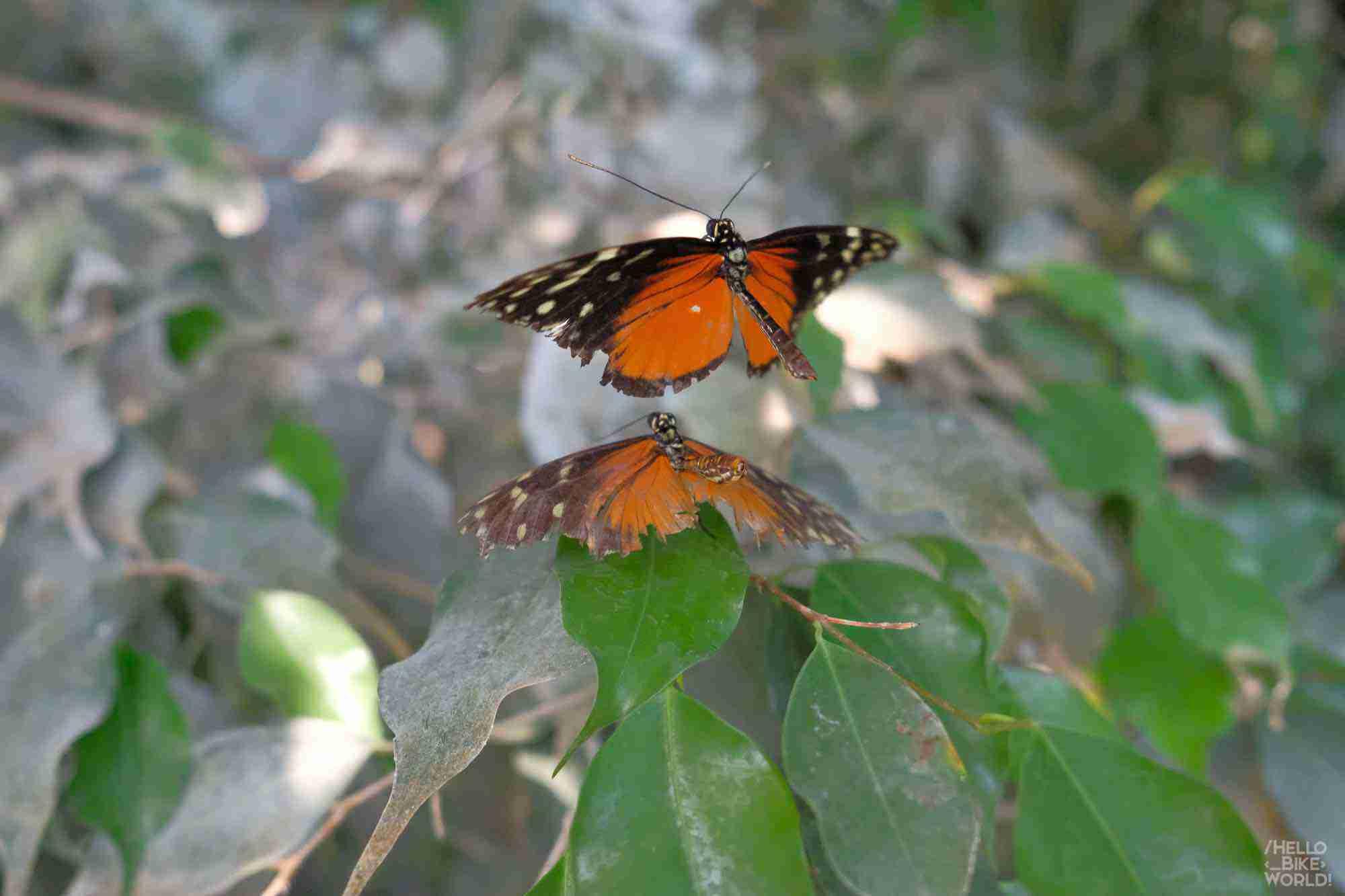 Papillon reflet ?